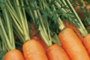 A sárgarépáról