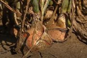 A Bejo Zaden új hagymafajtái: Veleta, Sonoma, Crockett (video)